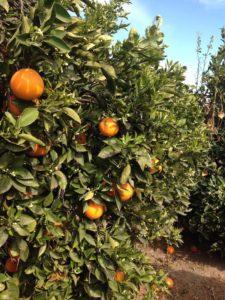 Orange Orchard in Valencia, Spain