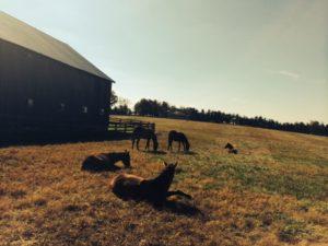 Horses at Danby Farms